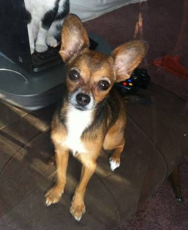 Missing Chihuahua South Los Angeles 1747 W 51st Place At