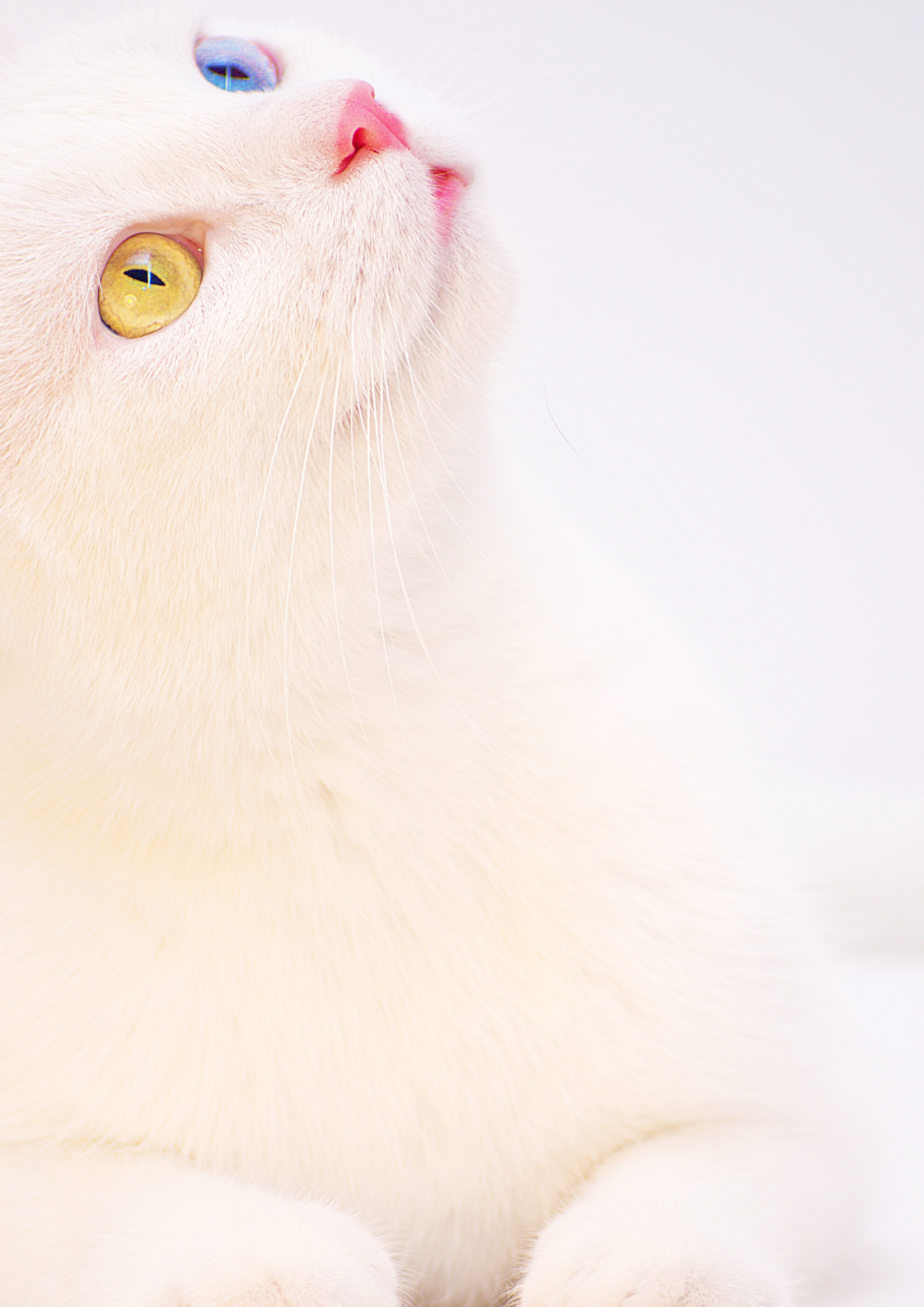 Beautiful Or Oddly Cat Cats Cat Memes White Cat