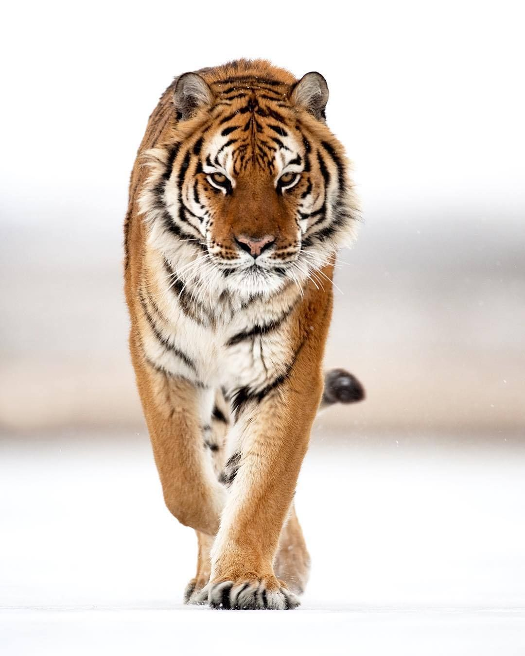 Amur Tiger by suhaderbent - Suha Derbent