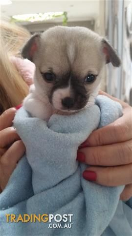 Purebred Baby Girl Chihuahua For Sale In Penrith Nsw Purebred