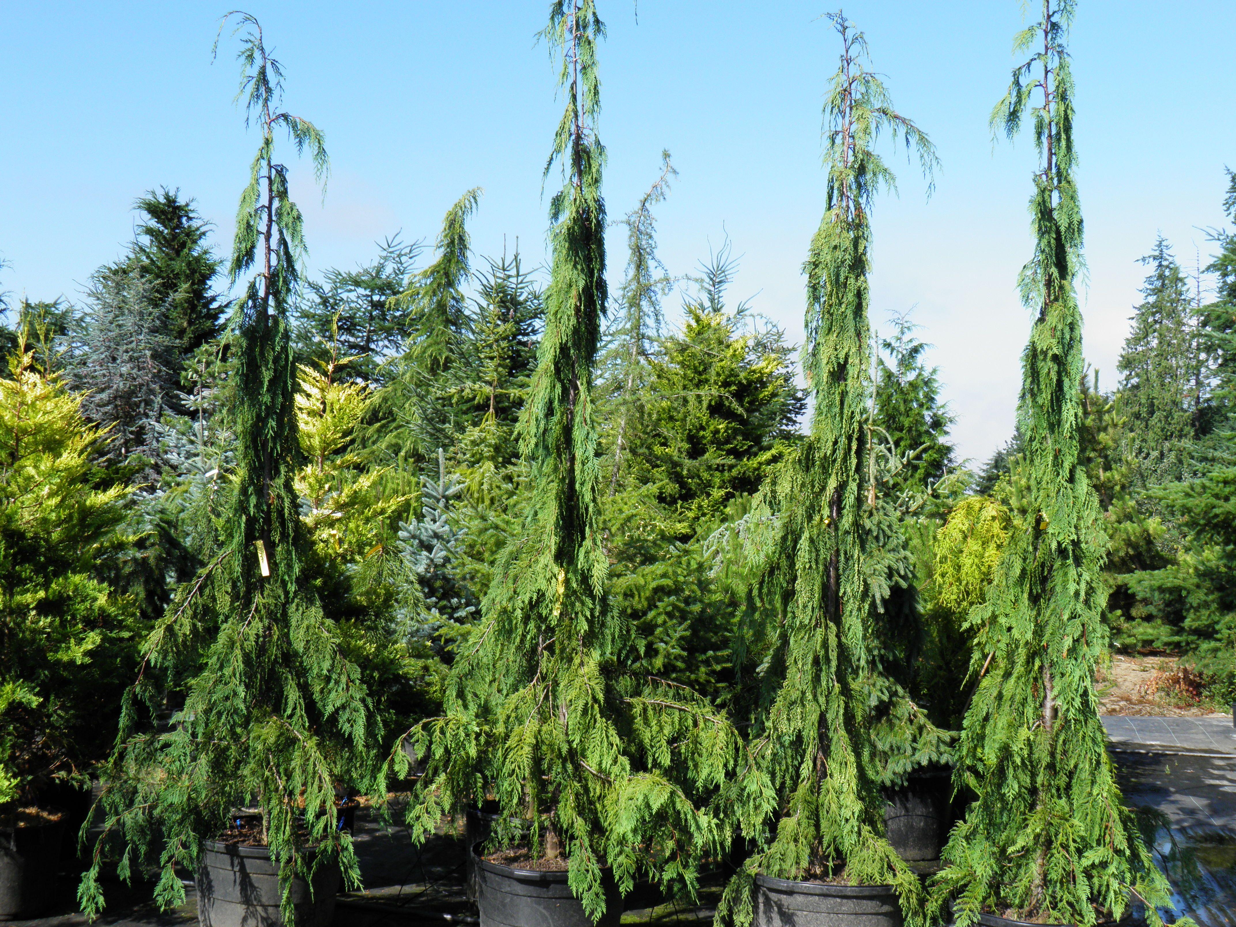 Green Arrow Weeping Alaska Cedar Cham Nootkatensis A