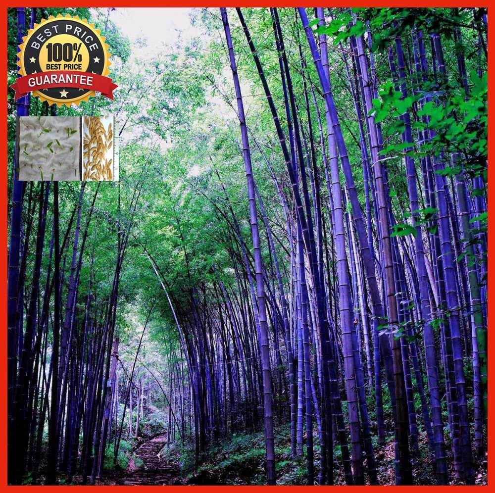 100 Rare Purple Bamboo Timor Bambusa Lako Free Shipping 100 Real Seeds And High Germination Rate Descrip Black Bamboo Plant Bamboo Seeds Moso Bamboo Seeds