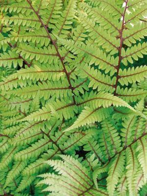 foug re de vidal achat vente plantes vivaces en ligne chez willemse plantes pinterest fern. Black Bedroom Furniture Sets. Home Design Ideas