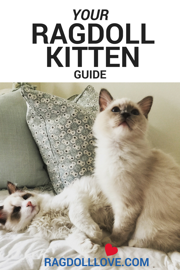 Your Ragdoll Kitten Guide Tips, Tricks and Advice