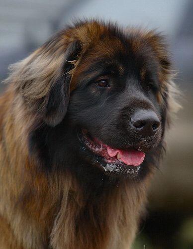 Leonberger   Leonberger dog, Dogs, Leonberger