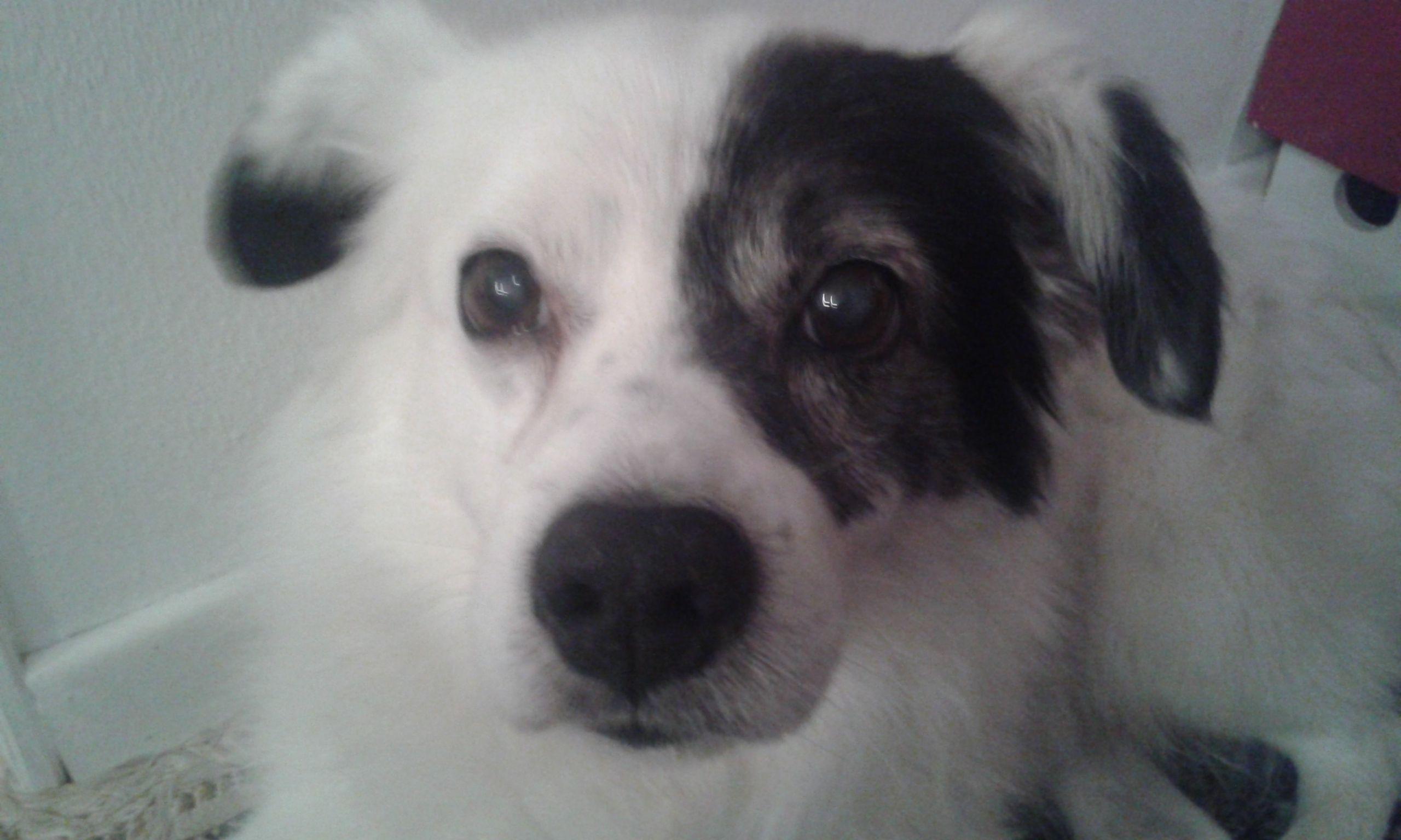 eccomi mi presento: sono Spillo un meticcio di 15 anni,non sono sto gran pezzo di cane....ma tanto tanto affettuoso