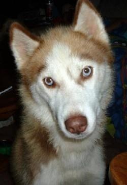 Lost Dog Siberian Husky Hamilton On Canada L9a 4v3 Losing