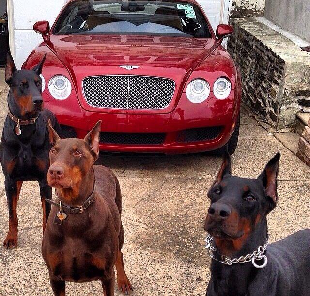 Great guard... Doberman dogs, Doberman pinscher puppy