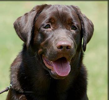 English Chocolate Labrador Retriever Lab Puppies Labrador English Lab Puppies