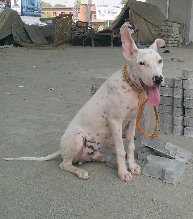 Pakistani Gull Terr Pakistani Bull Terrier Kohati Gull Terr