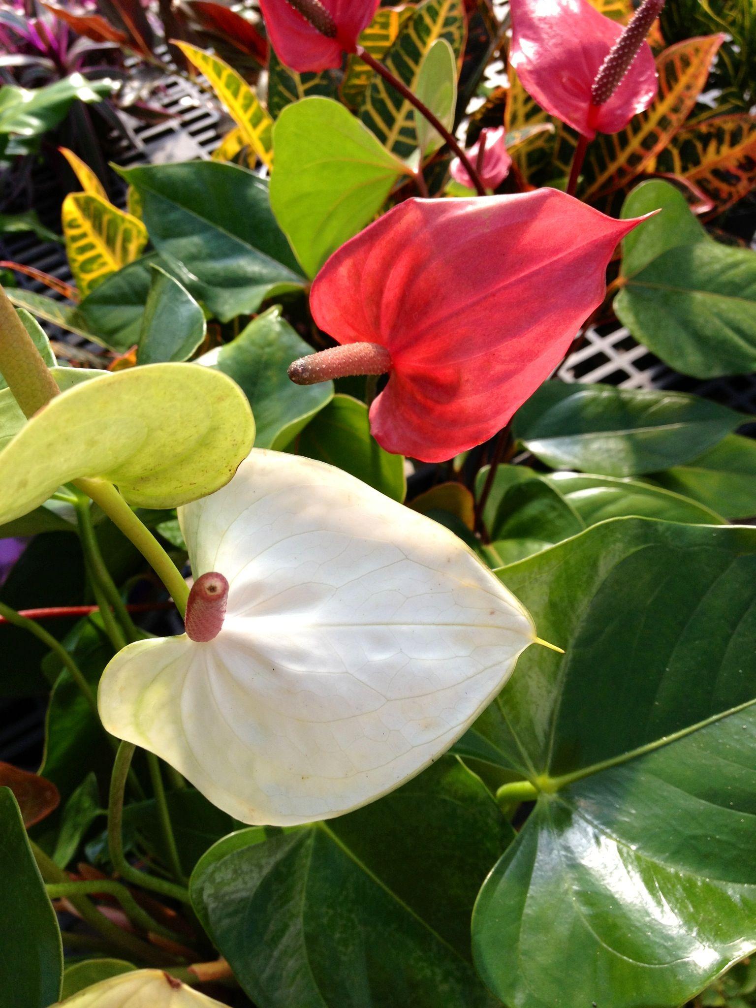 Anthurium Anthurium Plant Leaves Garden