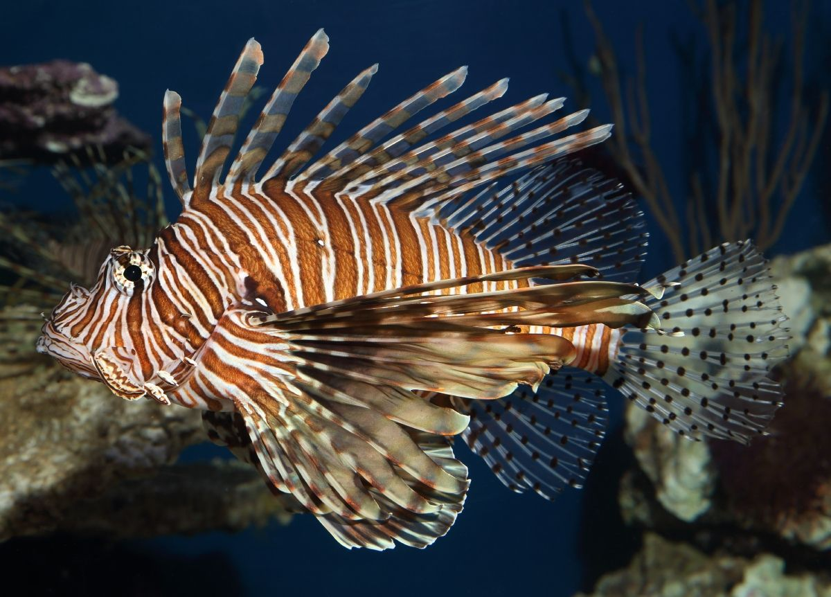 Coming in Like a Lion(fish)