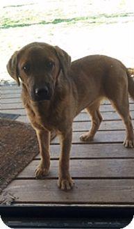 Stewart, TN - Labrador Retriever Mix. Meet Sadie, a puppy for adoption. http://www.adoptapet.com/pet/15070406-stewart-tennessee-labrador-retriever-mix