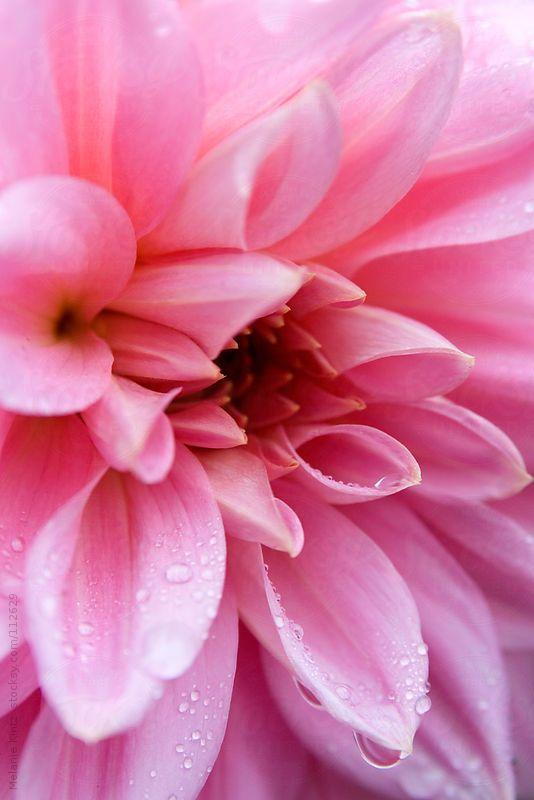 Pink Dahlia Flower by Mellimage - Melanie Kintz   Stocksy United