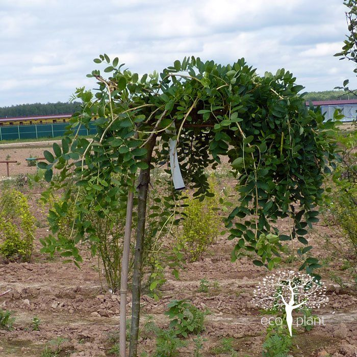 Riippahernepuun tulisi näyttää tältä. Ei ylöspäin sojottavia oksia eikä juuriversoja.Tällä yksilöllä on vielä ohut runko kun teidän puittenne rungot ovat upean paksut.