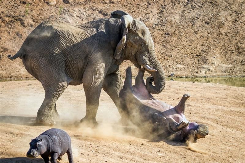 Angry Elephant Flips Hippo in The Air With its Trunk