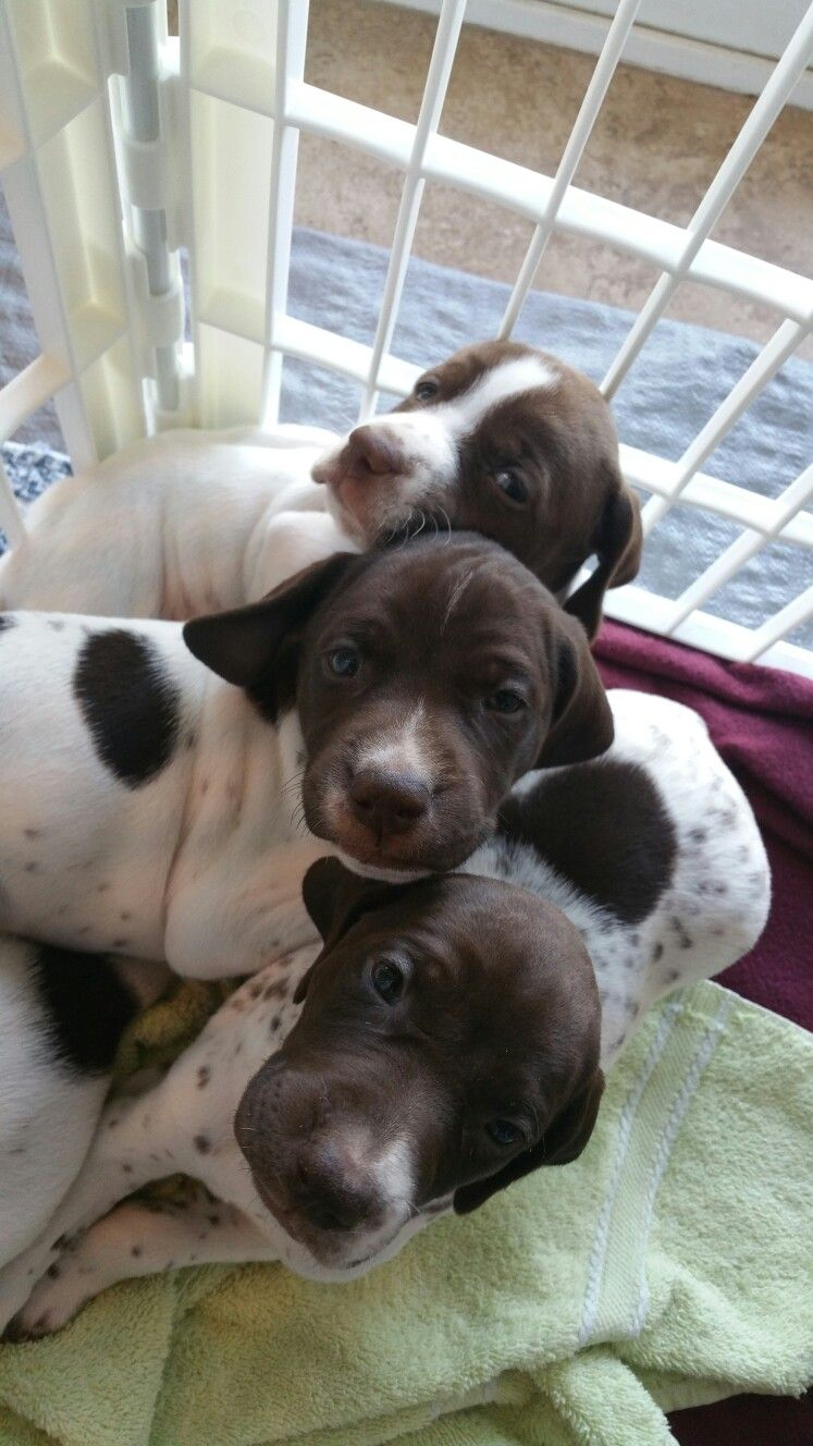German Shorthaired Pointer Puppies Breeders In Ohio 2021