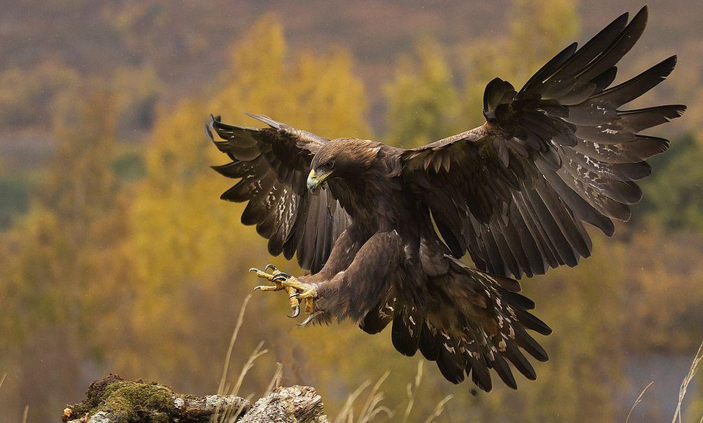 the golden eagle landing | Golden eagle, Bird and Animal