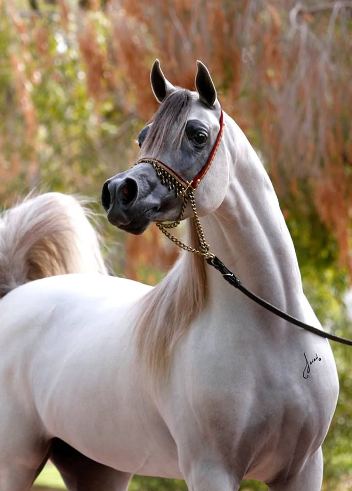 Arabian stallion.