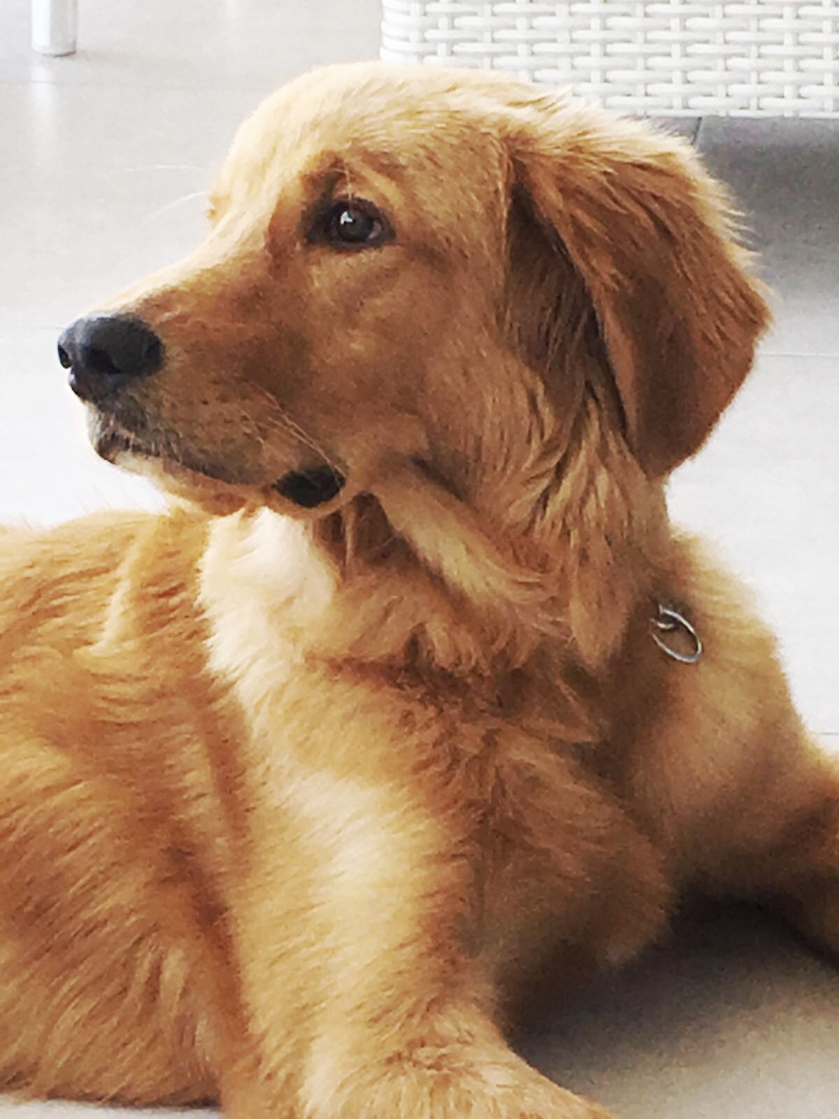 Idea by fureverfetching on golden retrievers and golden