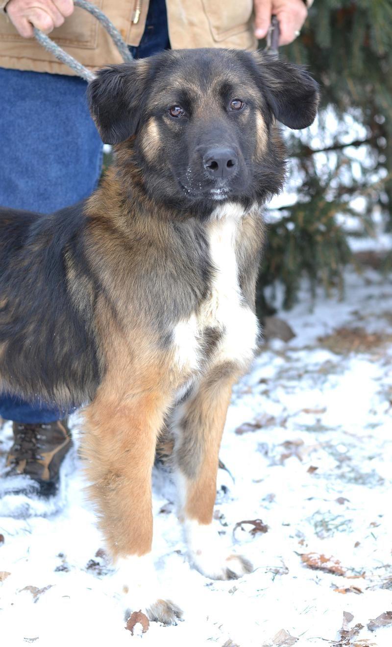 Duke is an adoptable German Shepherd Dog & Australian