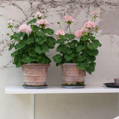 Sode Blomster Have Havestue Pelargonier Lyse Blomster Vintage Sommer Krukker Havekrukker Pelargonier Planter