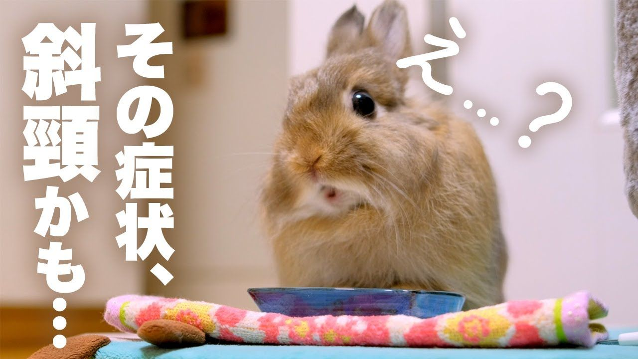 Is It Torticollis As The Face Of The Rabbit Had Begun To Incline I We ウサギ うさぎ 病院