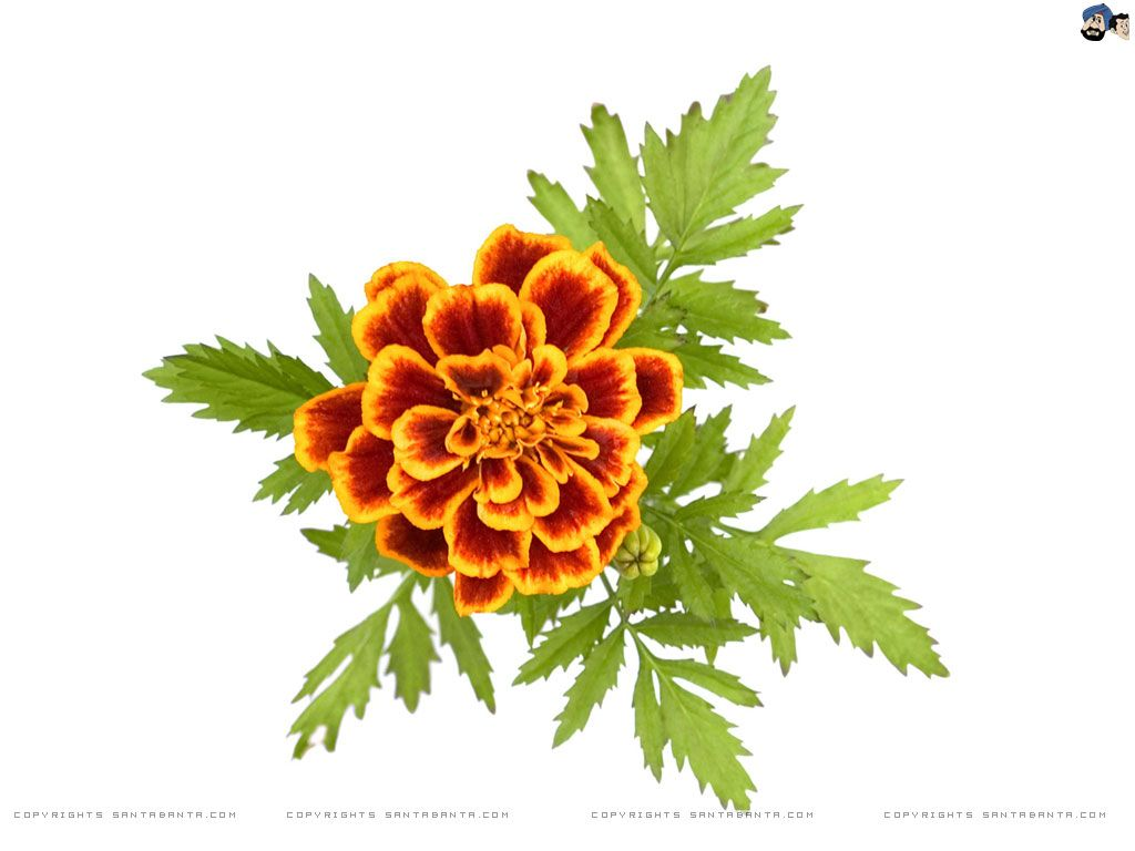 Marigold Flower Drawing For Kids