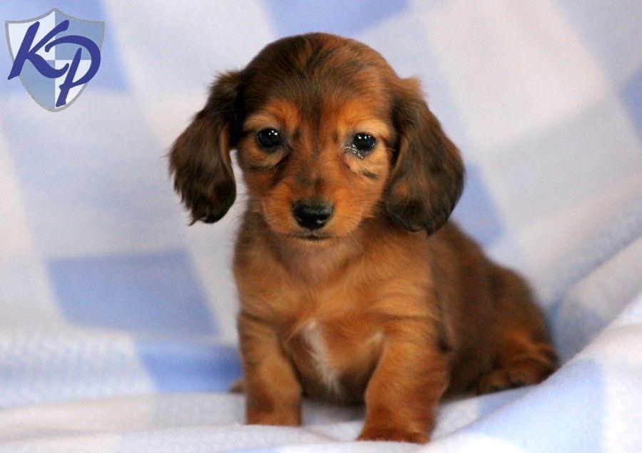 Miniature Dachshund Puppies Dachshund Miniature Puppies For Sale In Pa Keystone Puppies Dachshund Breed Dachshund Puppies Dogs