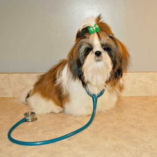 Human Medicine For Dogs Is It Safe Shih Tzu Puppy Shih Tzu
