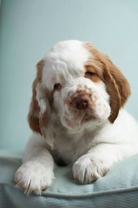 Clumber Spaniel Can T Decide If I Think He S Cute Clumber Spaniel Clumber Spaniel Puppy Dogs