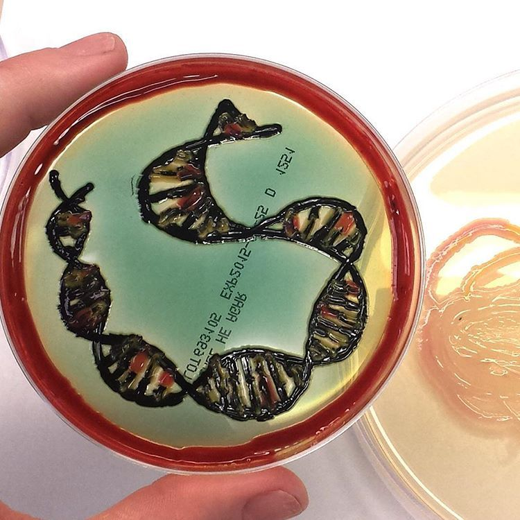 Pic Of The Day Agar Double Helix Inspired By The Current Agar Art Contest And The Gorgeous Red Of A Recently Isolated Serrat Biology Art Art Contest Labs Art