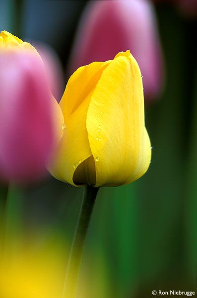 Springtime And Idioms Grammar Newsletter Tulips Yellow Tulips Flower Photos