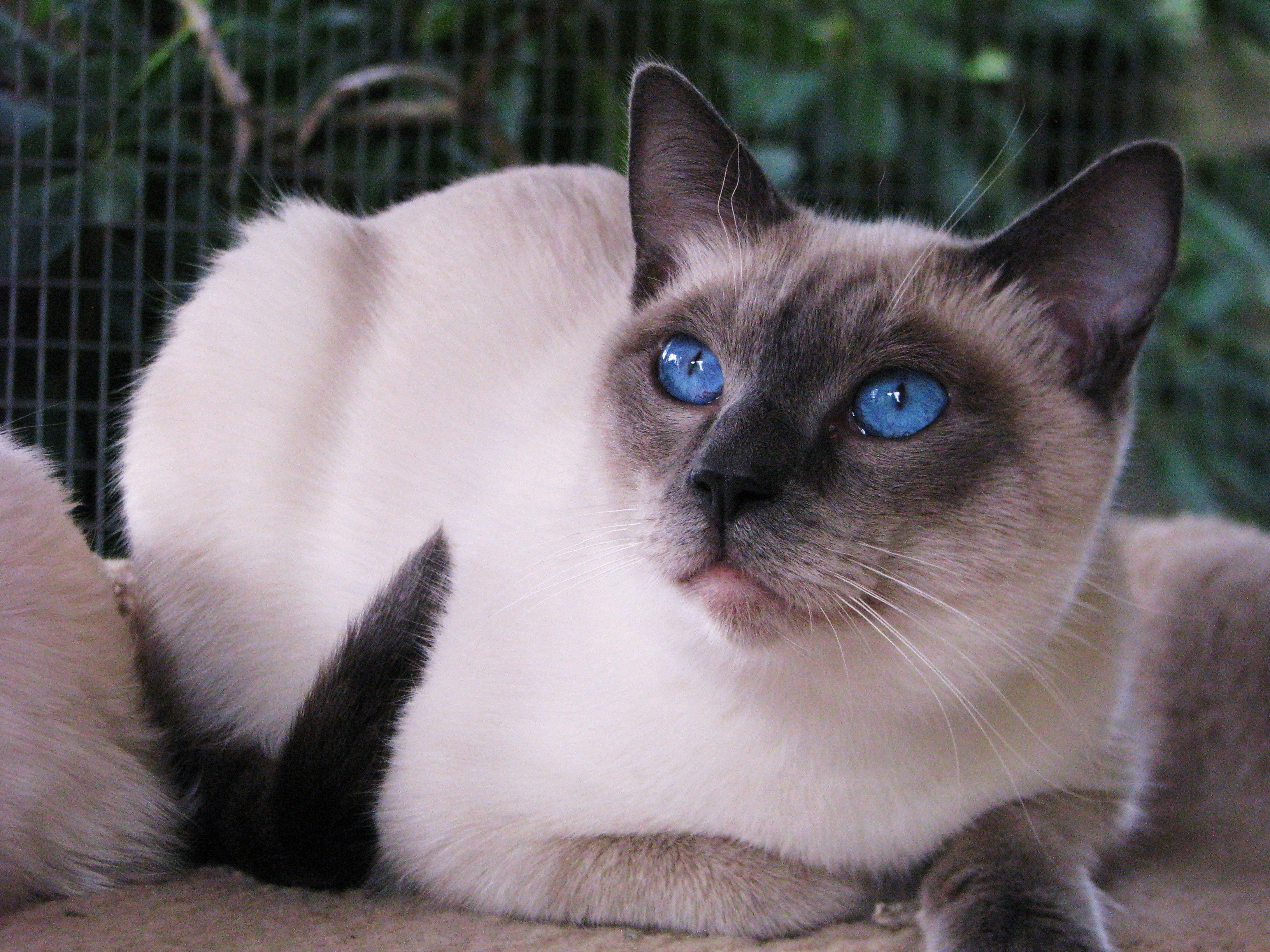 Blue Point Siamese Siamese Cats Blue Point Siamese Cats Cats