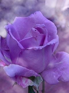 Download purple rose mobile wallpaper is compatible for - Samsung rose wallpaper ...
