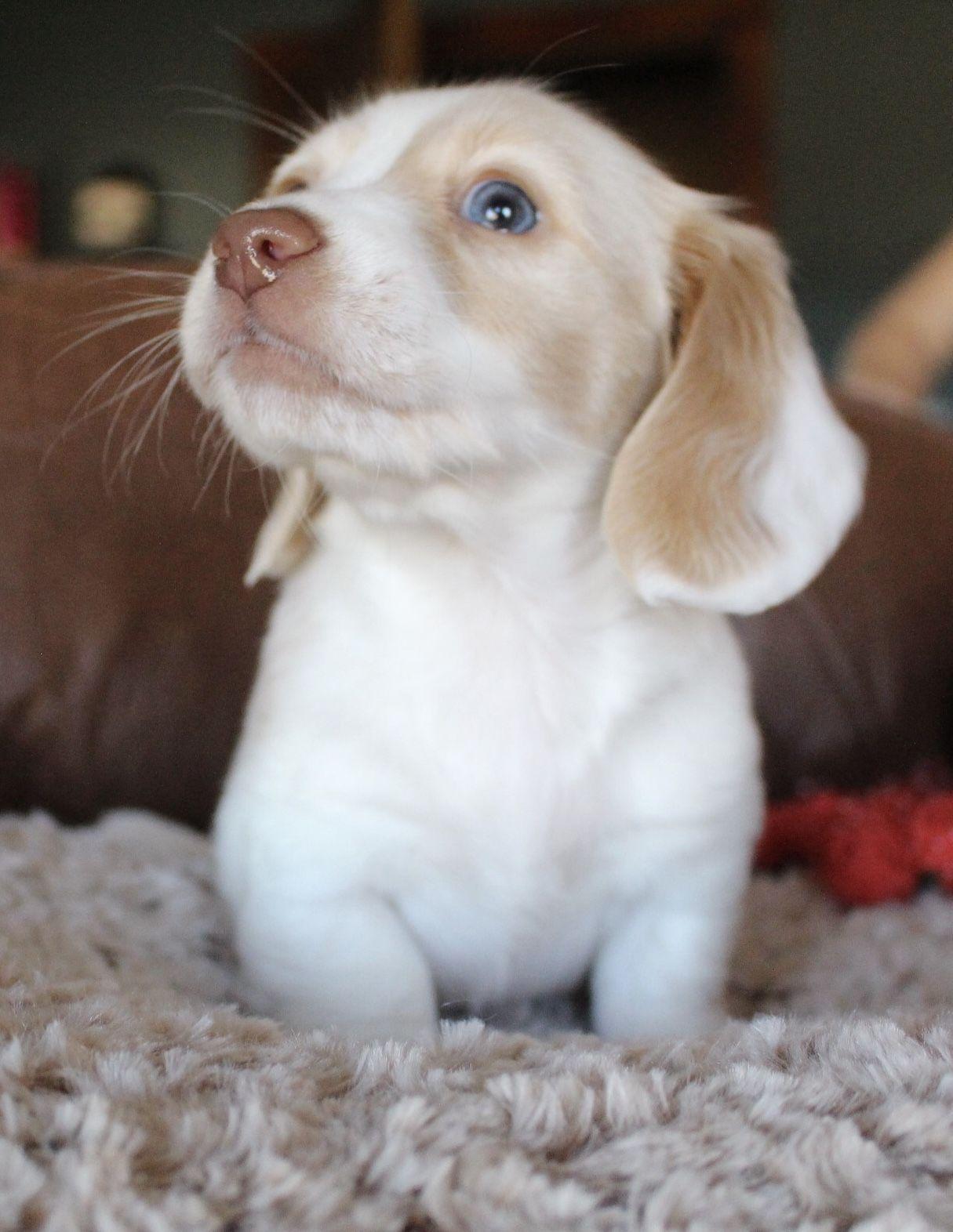 Cream Piebald Miniature Dachshund Puppy At Muddy River Dachshunds