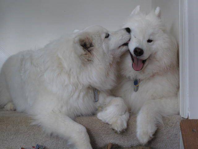 Resultado de imagen para 犬 Samoyeds 眠っている
