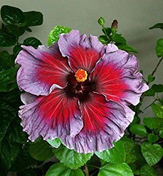 Amazon Com 10 Dinnerplate Hibiscus Perennial Flower Seed Easy To Grow Huge 10 12 Inch Flowers Fairy D In 2020 Hibiscus Plant Hibiscus Flowers Flowers Perennials