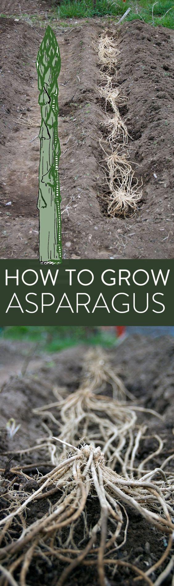 Comment Planter Des Asperges asparagus growing guide. | jardinage hydroponique, astuces