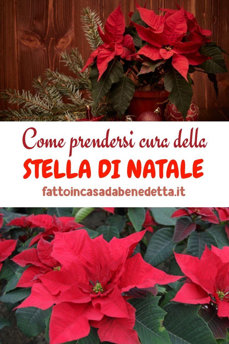 Come Prendersi Cura Della Stella Di Natale A Ricciotti