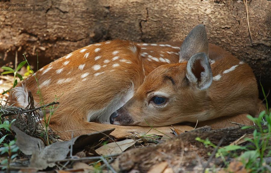 """500px / Photo """"Fawn in Woods"""" by Marina Scarr Deer eyes"""