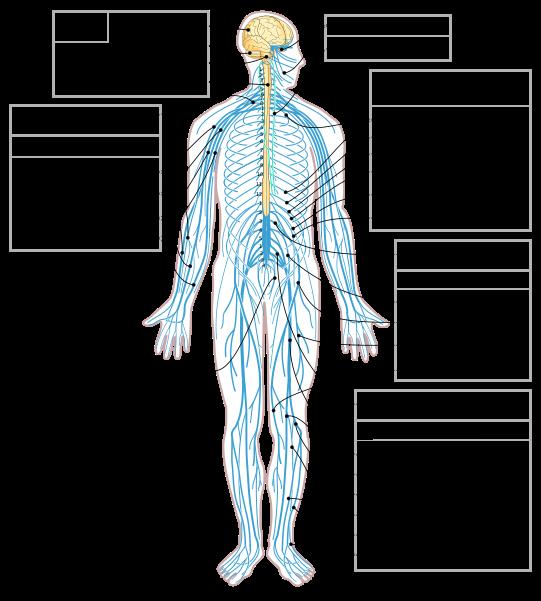 Nervous System Diagram En Svg Peripheral Nervous System Nervous System Diagram Nervous System Anatomy