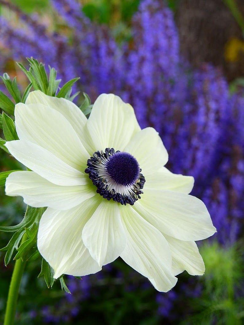 Sign In Purple Garden Anemone Flower Pot Design