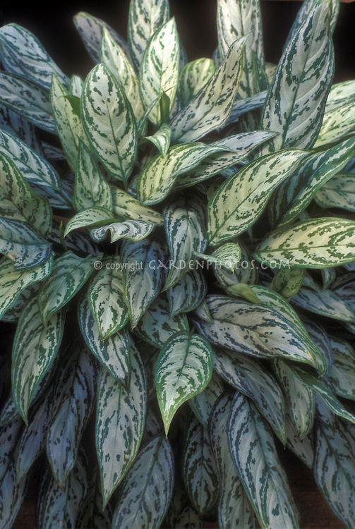 Aglaonema Maria Christina Houseplant Houseplants Pinterest