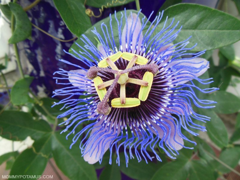 5 Benefits Of Passionflower How To Use It Passion Flower Benefits Passion Flower Healing Flowers