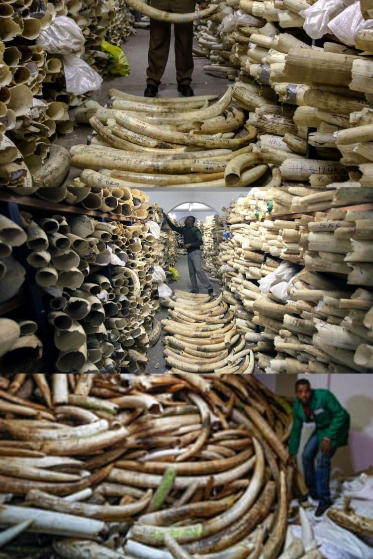 Elephant tusk for sale Antique cars for sale, Ivory