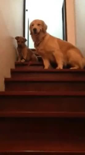 Golden Teaches Baby Puppy How To Stairs Baby Puppies Puppies