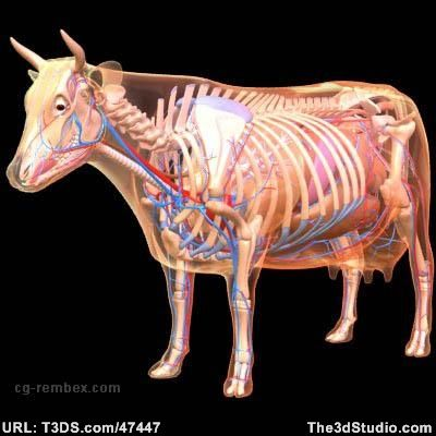 3d Model Cow Anatomy 3ds Lwo Max Obj By Rembex Cow Anatomy