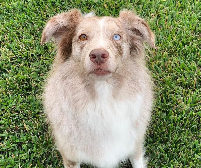 Australian Shepherd Breed Information Guide Quirks Pictures Personality Facts Australian Shepherd Australian Shepherd Puppies Sheepdog Breeds