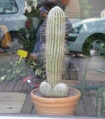 Image result for cactus penis